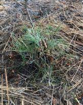 Transplant Pine 2